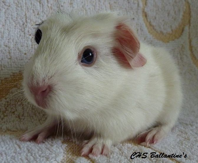 H2 - samička, bílá s černou, porodní váha 170 g