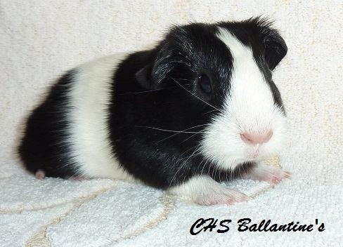 H3 - samička, černo-bílá, porodní váha 197 g
