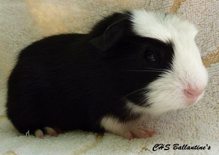H1 - sameček, černá s bílou, porodní váha 196 g