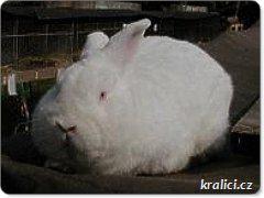 bílý (albín)